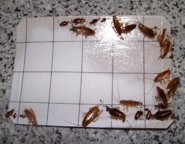 ゴキブリ調査用 補足トラップ
